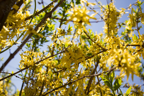 Photo Forsythia. Forsythia flower. Forsythia in full bloom in spring.