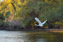 Great Egret On Danube Delta