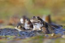 European Common Brown Frog (Ra...