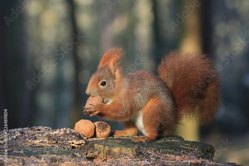Spoed Foto op Canvas Eekhoorn Art view on wild nature. Cute red squirrel with long pointed ears in autumn scene . Wildlife in November forest. Squirrel sitting on the stump with a nut. Sciurus vulgaris