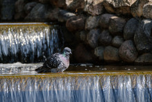 Dove Bathes In A Creek At Hot ...