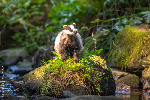 Photo Badger in forest, animal in nature habitat, Germany, Europe