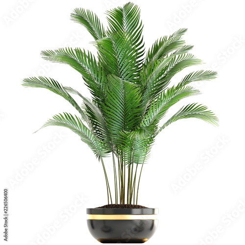 Howea palm in a pot on a white background