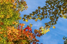 Looking Up At Maple Trees With...