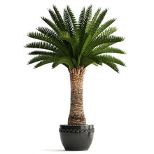 Date Palm In A Pot On A White Background