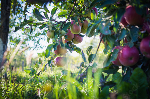 Country autumn landscape. Apple garden and sunny evening