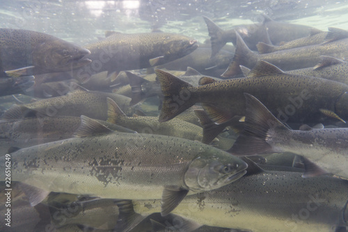 Fotografia  An underwater view of a group of wild salmon