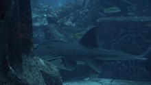 Giant Guitarfish Swimming In Deep Blue Water In Big Tank Aquarium. Lot Of Exotical Fishes On Background. View Through Glass In Underwater Zoo. Slow Motion