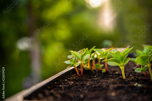 Ecology concept. The seedling are growing from the rich soil. Small depth of field. Young plants in nursery plastic tray at vegetable farm. Close up view