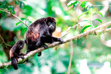 Howler Monkey Mama And Baby