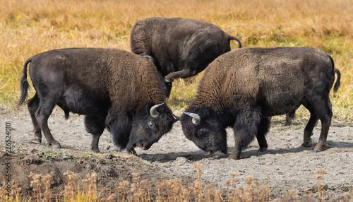 Foto op Canvas Bison Fall Bison
