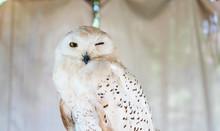 Owls Portrait. Owl Eyes. Beaut...