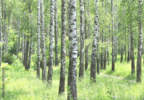 Papiers peints Forets Beautiful birch trees with white birch bark in birch grove with green birch leaves