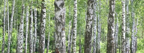 Tuinposter Berkbosje Beautiful birch trees with white birch bark in birch grove with green birch leaves