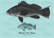Black Sea Bass. Vector Illustr...