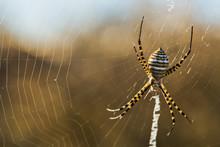Banded Garden Spider Macro.
