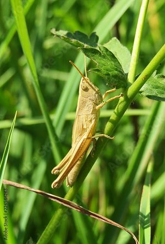 Wallpaper Mural Brown grasshopper