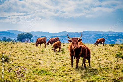 Papiers peints Vache Vaches de Salers