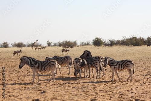 Fototapety, obrazy: zèbres en savane africaine