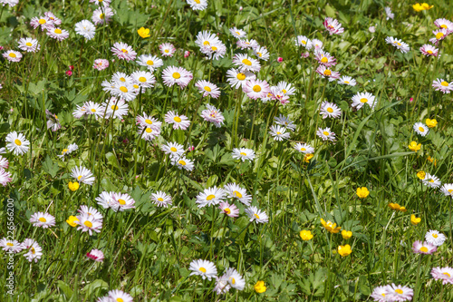 Foto op Canvas Madeliefjes Natural background with blossoming daisies (bellis perennis)