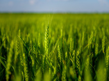 Green Wheat Field, Agricultural Landscape.