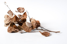 Autumn Dried Branch With Dried Leaves