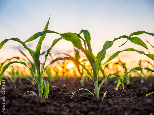 Green corn maize plants on a field. Agricultural landscape Fototapet