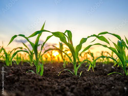 Photo Green corn maize plants on a field. Agricultural landscape