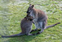 Wallaby With Joey Feeding