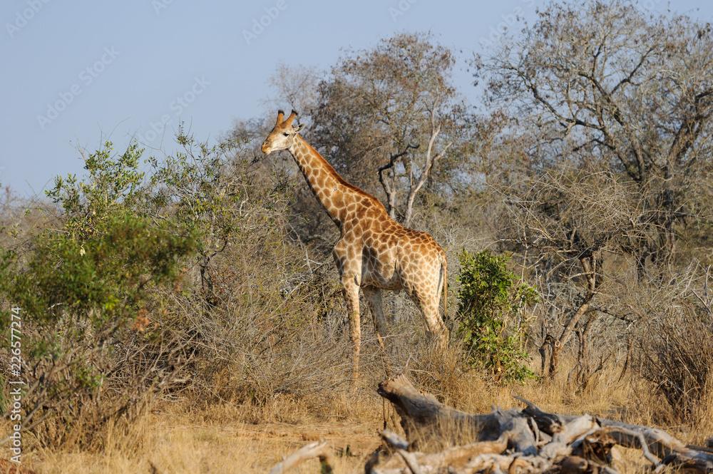 Giraffe in Krueger Nationalpark