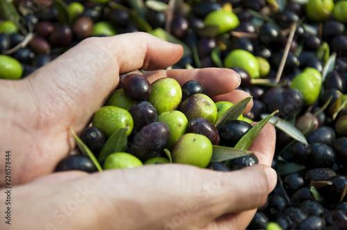 Hands holding harvested olive