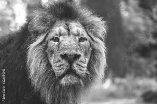 Fototapety, obrazy: portrait of a large beautiful lion
