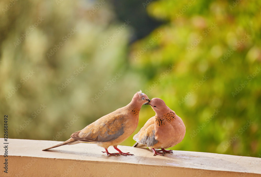 Two cute pigeons kissing with their beaks