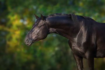 Black stallion portrait outdoor
