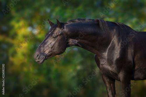 Fototapeta Black stallion portrait outdoor obraz