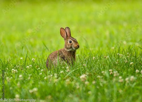 Cuadros en Lienzo Bunny in the grass
