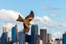 Black Kite Raptor In Flight Wi...