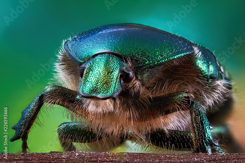 Tela Macrophotography of shiny and shaggy beetle bronze