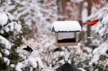 Beautiful Red Bird And Black B...
