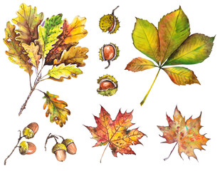 Autumn set with oak, maple and chestnut leaves, acorns and chestnuts. Isolated elements for design. Watercolor illustration.