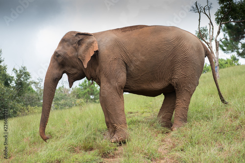 Foto op Aluminium Olifant Asian elephant