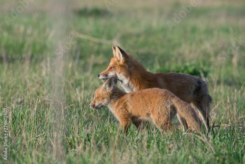 Staande foto Ree Red fox kits