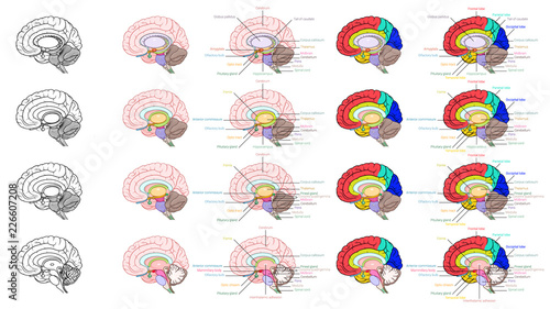 Parts of human brain anatomy side view - Buy this stock