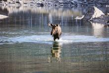 Moose Walking In River At Jasper National Park