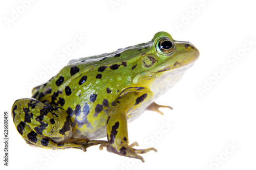 Photo sur Aluminium Grenouille Green Pool Frog on white, Pelophylax lessonae