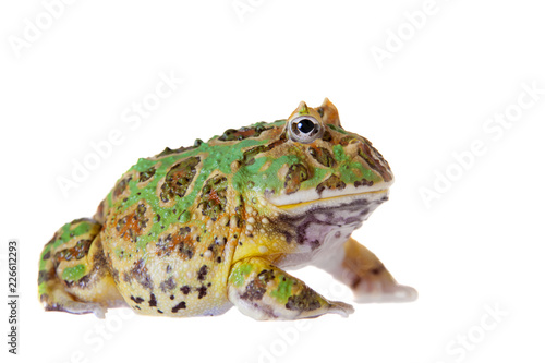The chachoan horned frog isolated on white