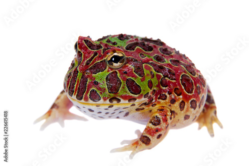 The red Argentine horned froglet isolated on white
