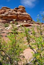 Canyonlands Confluence Blühender Busch