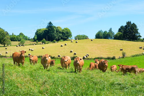 Cattle Limousin cows in the fields