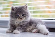 Little Fluffy Grey Persian Mai...